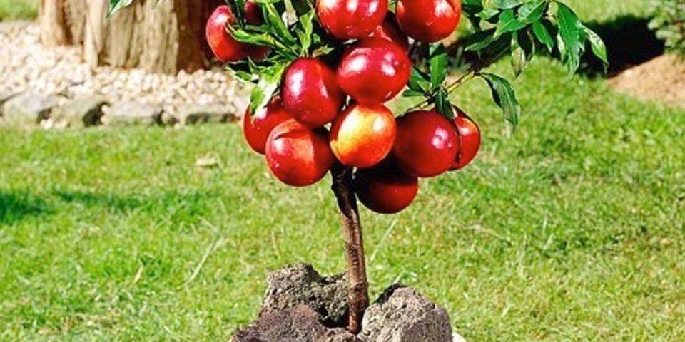 Come coltivare il pesco e l albicocco in vaso per for Alberi da frutto in vaso