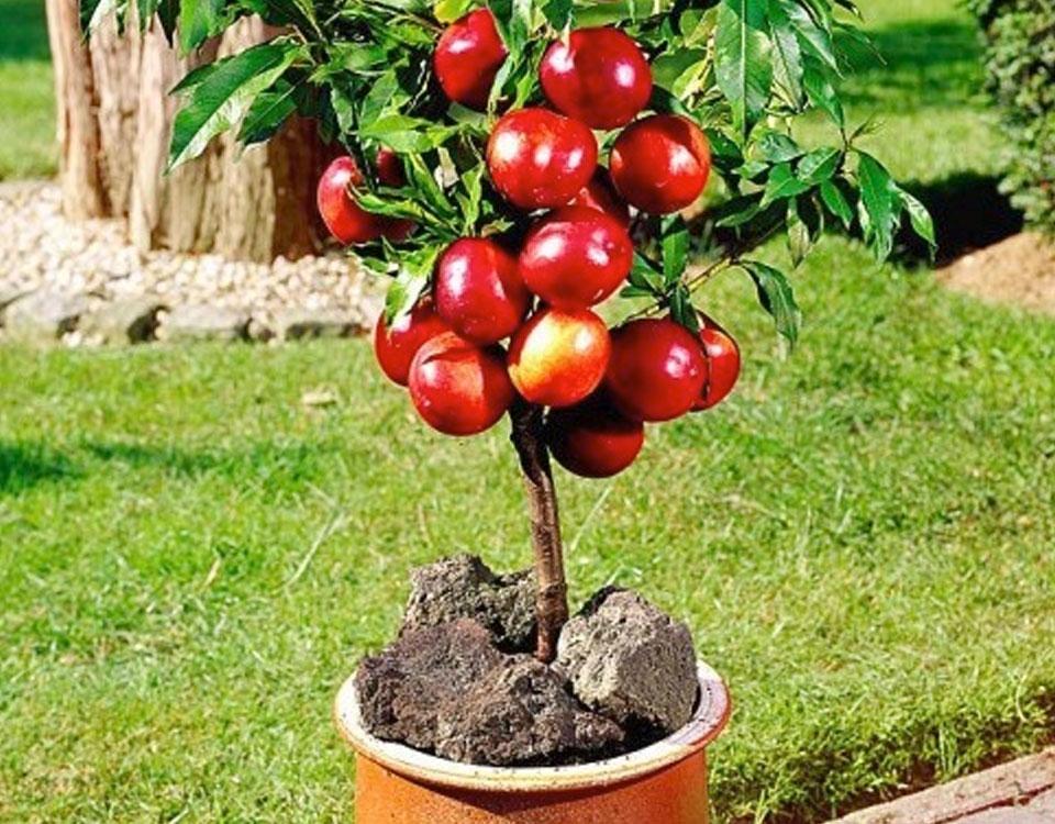 Come coltivare agrumi in vaso bernabei vivai for Terriccio per limoni in vaso