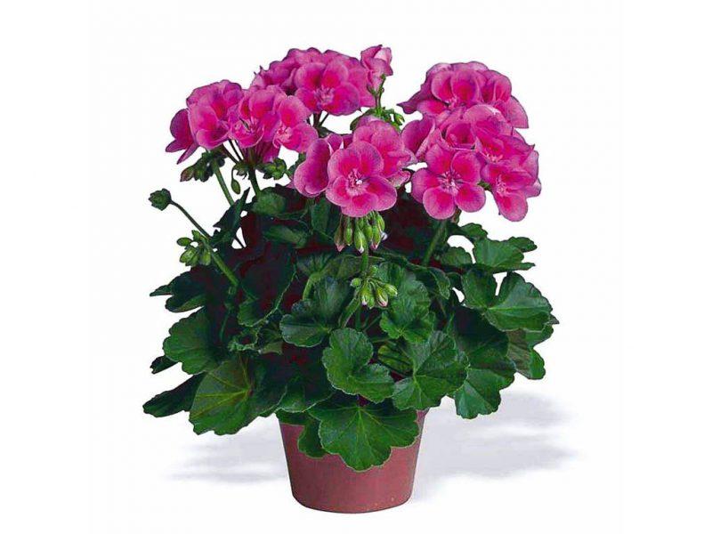 Geranio (pelargonium)