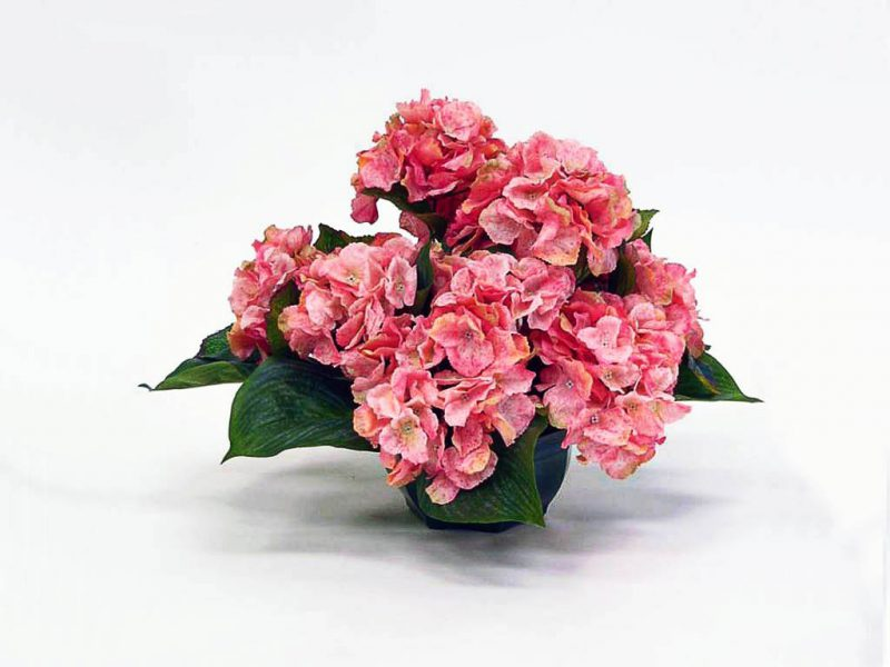 Ortensia (hydrangea macrophylla)