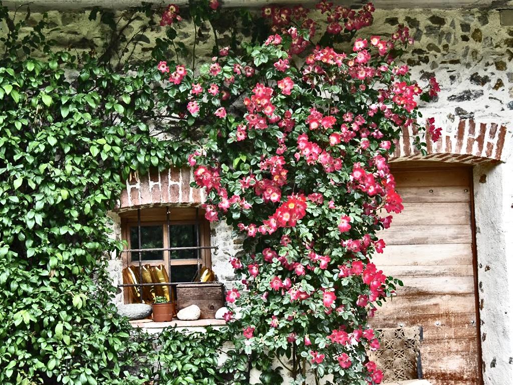 Rosa Rampicante In Vaso rosa rampicante v24