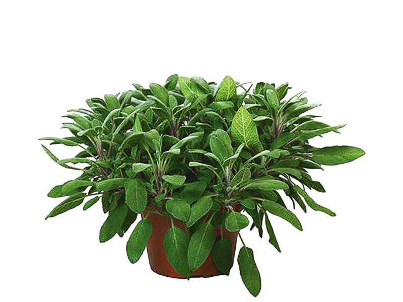 Salia officinalis