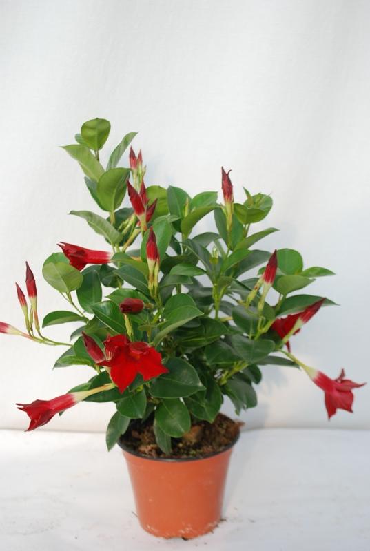 Dipladenia sundaville v14 bernabei vivai for Sundaville coltivazione