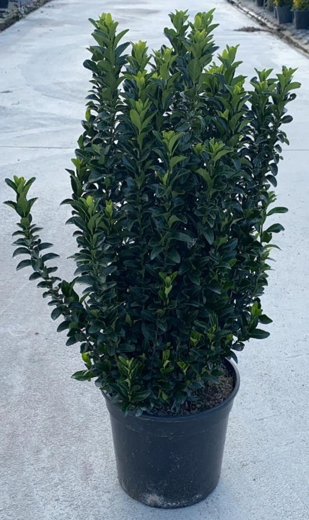 Euonymus magic green v24