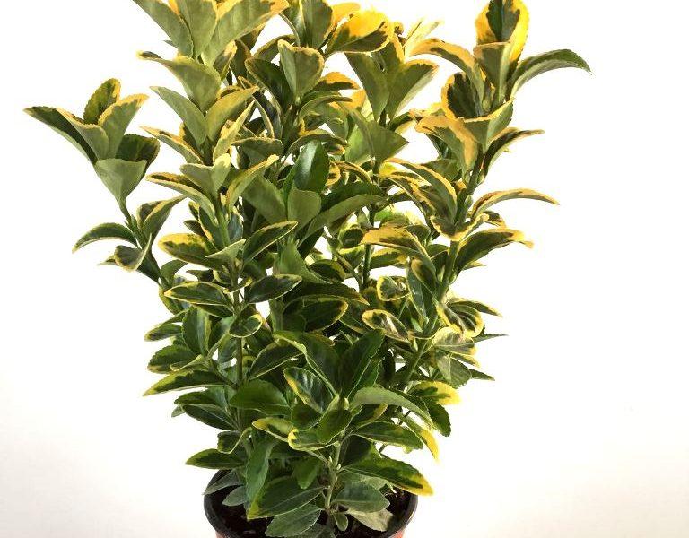 euonymus aurea v17