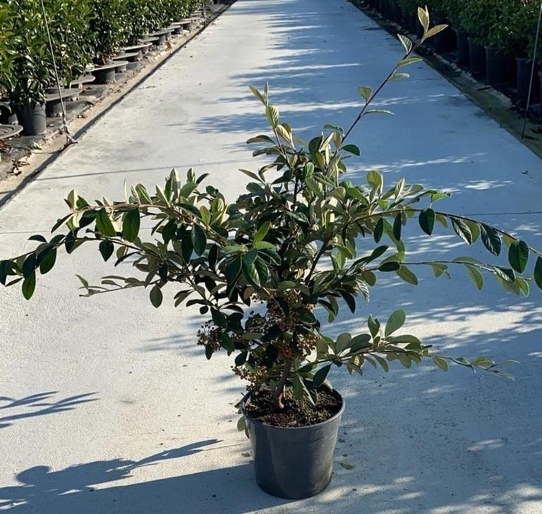cotoneaster lactea v24 (2)